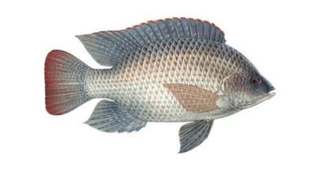 General Information About Tilapia
